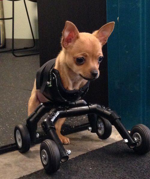 Dog+wheelchair