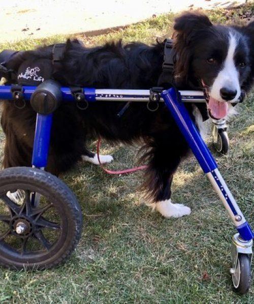 dog+cart