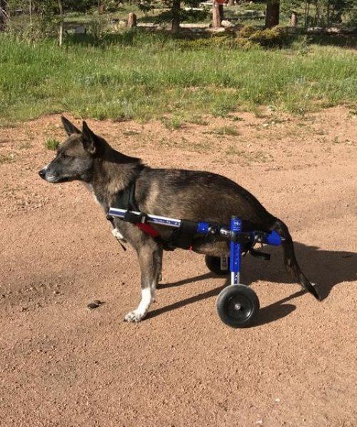 dog+wheelchair (1)