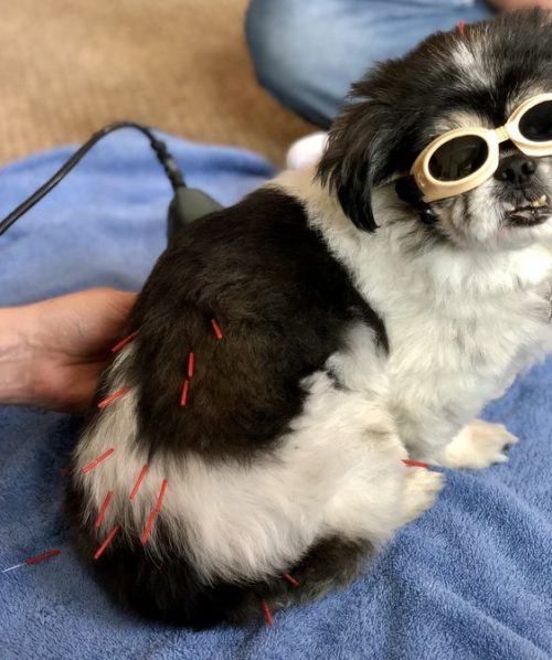 laser+therapy+for+dog
